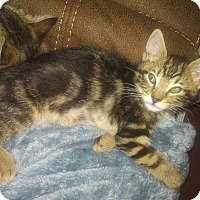 Domestic Shorthair Kitten for adoption in Whitehall, Pennsylvania - Charles