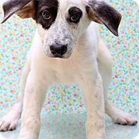Adopt A Pet :: Pippa - Waldorf, MD