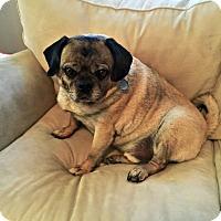 Adopt A Pet :: Thorr - Grapevine, TX
