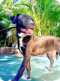 Labrador Retriever Mix Puppy for adoption in West Palm Beach, Florida - Vita