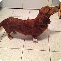Dachshund Dog for adoption in Centreville, Virginia - Gibbs