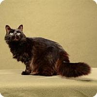 Domestic Mediumhair Cat for adoption in Cary, North Carolina - Delaney