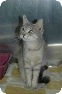 Domestic Shorthair Cat for adoption in Warwick, Rhode Island - Ashley: Gray Tiger Beauty