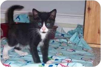 Domestic Shorthair Kitten for adoption in Jenkintown, Pennsylvania - Pitch
