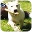 Photo 2 - Labrador Retriever/Basset Hound Mix Puppy for adoption in Portsmouth, Rhode Island - Snowflake