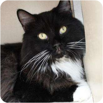 Domestic Longhair Cat for adoption in Denver, Colorado - Charlie