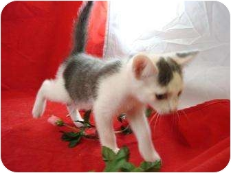 Domestic Shorthair Kitten for adoption in Greer, South Carolina - Smudge
