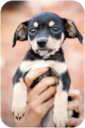 Spaniel (Unknown Type) Mix Puppy for adoption in Encino, California - Tinkerbell