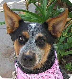Australian Cattle Dog Dog for adoption in El Cajon, California - SYDNEY
