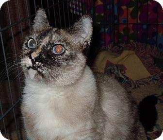 Siamese Cat for adoption in Stafford, Virginia - Cinderella