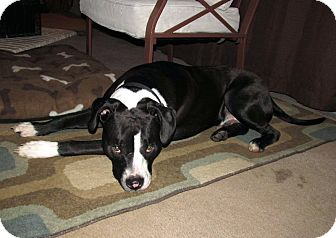 American Staffordshire Terrier Mix Dog for adoption in Chattanooga, Tennessee - Bentley