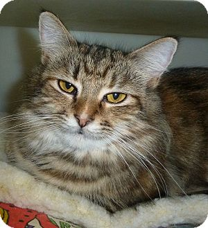 Calico Cat for adoption in Carmel, New York - Missouri
