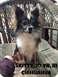 Chihuahua Mix Dog for adoption in Salem, Oregon - Skitty