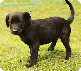 Labrador Retriever Mix Puppy for adoption in Washington, D.C. - Francy (CD)