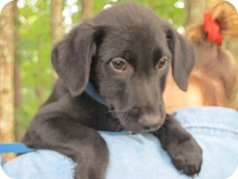 Labrador Retriever/Golden Retriever Mix Puppy for adoption in Hagerstown, Maryland - Lucky Charms