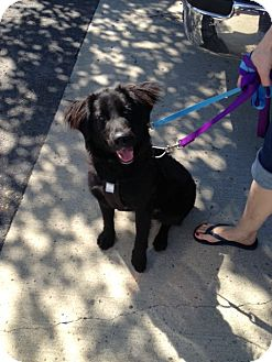 Border Collie/Standard Poodle Mix Puppy for adoption in Guelph, Ontario - Hugo