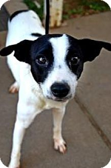 Rat Terrier Mix Dog for adoption in Fort Smith, Arkansas - Purdy