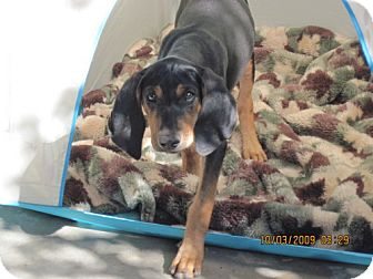 Black and Tan Coonhound Mix Puppy for adoption in El Cajon, California - Ramsey