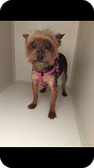 Yorkie, Yorkshire Terrier Mix Dog for adoption in DFW, Texas - Pixee