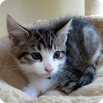 Domestic Shorthair Kitten for adoption in Janesville, Wisconsin - Gibson