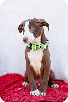 Great Dane/Labrador Retriever Mix Puppy for adoption in Auburn, California - Max