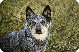 Australian Cattle Dog Mix Dog for adoption in Pilot Point, Texas - BRYAN