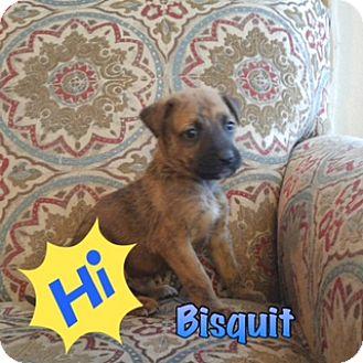 Plott Hound/Anatolian Shepherd Mix Puppy for adoption in White Settlement, Texas - Bisquit