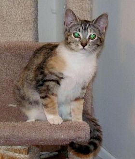 Domestic Shorthair Cat for adoption in Westminster, Maryland - Emma
