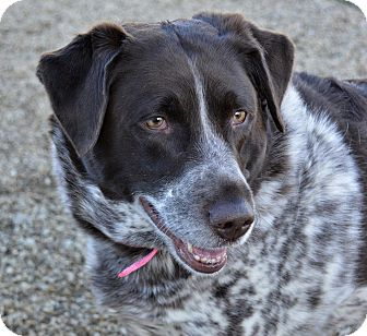 German Shorthaired Pointer/Labrador Retriever Mix Dog for adoption in Meridian, Idaho - Emma