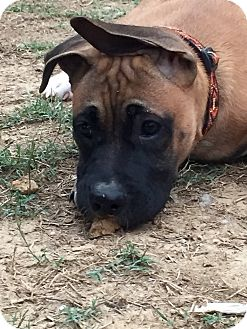 Boxer/Bullmastiff Mix Puppy for adoption in Colmar, Pennsylvania - Houston