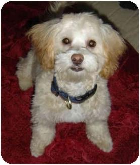 Coton de Tulear/Poodle (Miniature) Mix Dog for adoption in Chicago, Illinois - Joss
