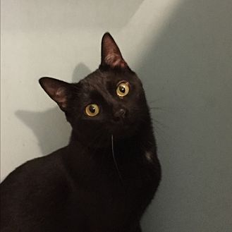 Domestic Shorthair Cat for adoption in Marlton, New Jersey - Tony