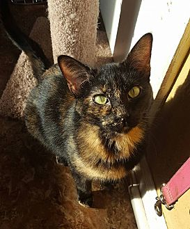 Domestic Shorthair Cat for adoption in Enid, Oklahoma - Clara