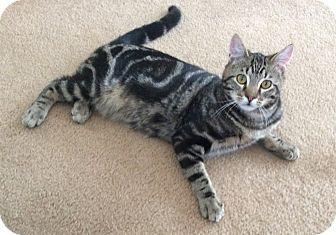 Domestic Shorthair Cat for adoption in Plainville, Massachusetts - Zeby