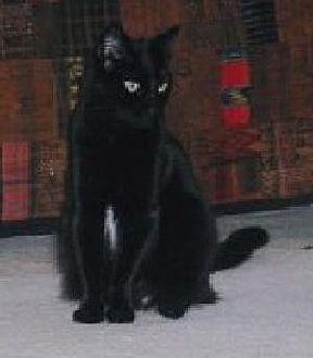 Domestic Shorthair Cat for adoption in Half Moon Bay, California - Roxanne