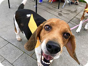 Beagle Mix Dog for adoption in San Francisco, California - Sol