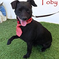 Corgi/Chihuahua Mix Dog for adoption in San Diego, California - Toby