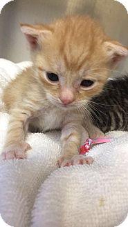 Domestic Shorthair Kitten for adoption in Mine Hill, New Jersey - Koala, Ginger