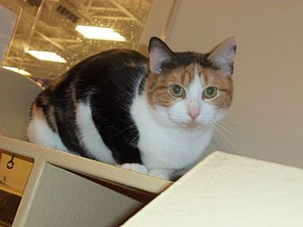 Calico Cat for adoption in Houston, Texas - Ginger