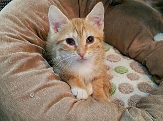 Domestic Shorthair Kitten for adoption in Hampton, Virginia - Daniella