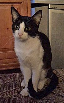 Domestic Shorthair Cat for adoption in Highland, Indiana - Brooke