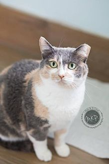 Calico Cat for adoption in Blaine, Minnesota - Momma Lily