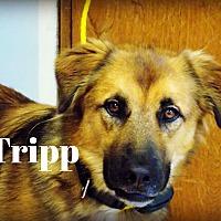 Adopt A Pet :: Tripp - Defiance, OH