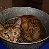 Domestic Shorthair Kitten for adoption in Lucedale, Mississippi - Kimmy