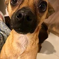 Adopt A Pet :: Julio Iglesias - Encino, CA