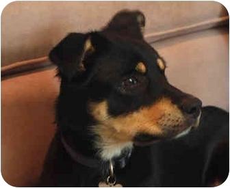 Shiba Inu/Alaskan Malamute Mix Dog for adoption in Hartford, Connecticut - Diamond