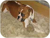 Boxer Mix Dog for adoption in Davis, California - Charlie