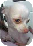 Chihuahua Mix Puppy for adoption in Albuquerque, New Mexico - Yodie-xs