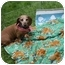 Photo 1 - Dachshund Dog for adoption in Killingworth, Connecticut - Nala