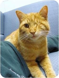 Domestic Shorthair Cat for adoption in Jackson, Michigan - Merrel